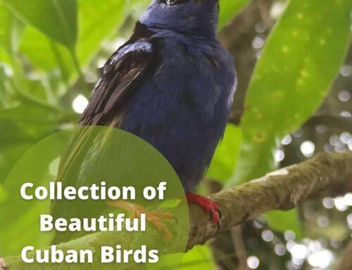 Beautiful Cuban Birds