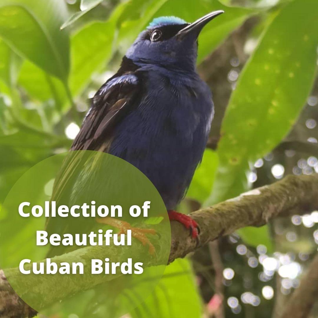 Simply Birds of Cuba